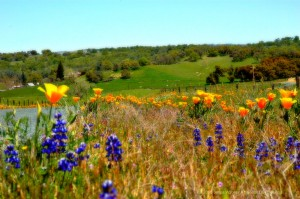 California poppies and lupin.